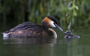 Picture birds, lake, family, chick, The great crested grebe, Great crested grebe
