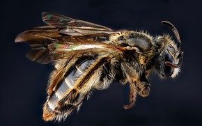 Picture bee, insect, andrena fragilis
