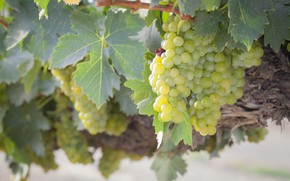 Picture leaves, nature, grapes, bunch, vineyard, shrub