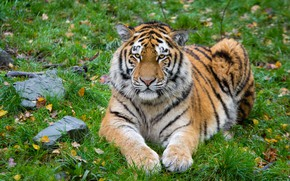 Picture cat, predator, The Amur tiger