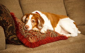 Picture resting, Spaniel, pillow, lies, sofa, Brittany Spaniel