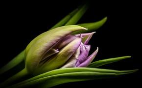 Picture macro, Tulip, Bud