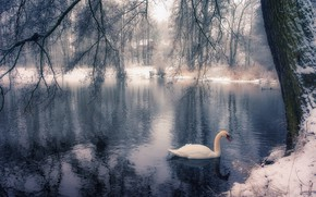 Picture winter, branches, lake, Park, tree, bird, Swan