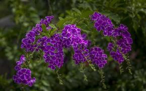 Picture purple, tropics, duranta
