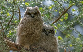 Picture birds, branches, owls, a couple, Chicks, owl