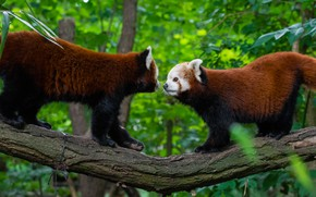 Picture pair, Red Panda, tree, Red Panda