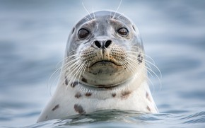 Picture sea, look, face, water, portrait, Seal