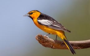 Picture bird, branch, beak, tail, color trupial bullock