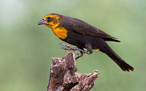 Picture bird, beak, tail, the citrine trupial