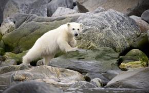 Picture white, stones, animal, bear, zoo