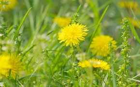Picture grass, macro, dandelions