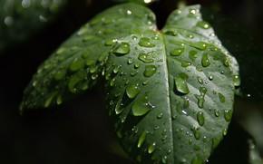 Picture Macro, Drops, Macro, Drops, Green leaves, Green leaves
