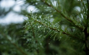 Picture drops, tree, spruce