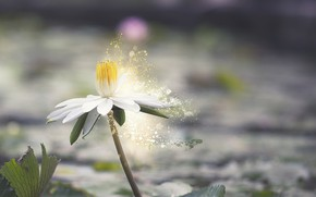 Picture flower, leaves, water, nature, flowering, water Lily