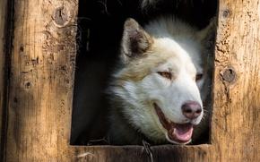 Picture eyes, look, face, tree, Board, portrait, dog, window, beauty, white, booth, husky, hole, Siberian husky, …