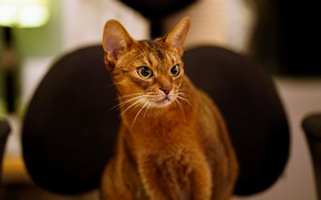 Picture cat, look, Abyssinian