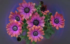 Picture nature, bouquet, petals, Osteospermum