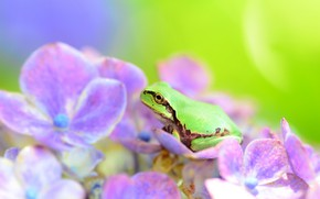 Picture flower, frog, hydrangea