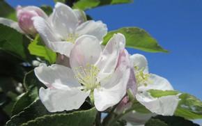 Picture flowers, Apple, spring 2018, Meduzanol ©
