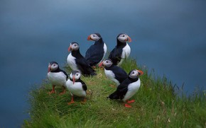 Picture birds, weed, family, Atlantic puffin, Deadlocks
