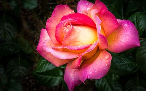 Picture drops, macro, rose, petals