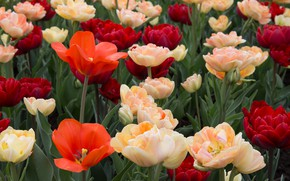 Picture petals, tulips, buds