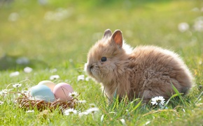 Picture grass, flowers, nature, animal, chamomile, eggs, rabbit, Easter, basket