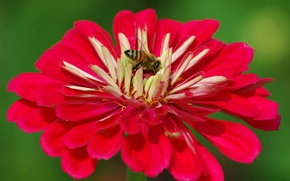 Picture flower, macro, bee, petals, insect, zinnia