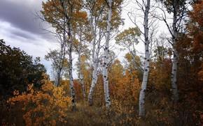Picture autumn, forest, birch