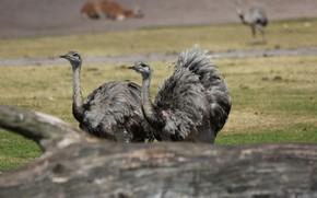 Picture Park, American ostrich, Nandu