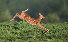 Picture jump, fawn, White-tailed deer