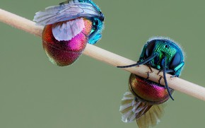 Picture insect, a couple, wasps-blatancy