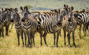 Picture Zebra, grass, field, the herd, striped