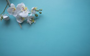Picture flowers, branch, Orchid, blue background