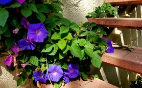 Picture flowers, ladder, morning glory, tunak