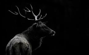 Picture background, deer, lighting, horns