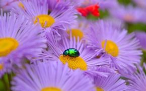 Picture Macro, Beetle, Flowers, Macro, Purple flowers, Asters, Purple Flowers, Asters