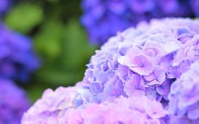 Picture summer, Bush, flowering, Hydrangea