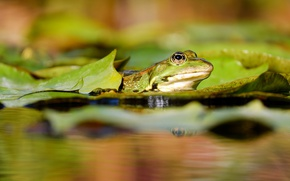 Picture leaves, water, macro, nature, pond, frog, green, pond, blurred background, amphibians, spotted