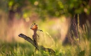 Picture summer, nature, bird, hoopoe