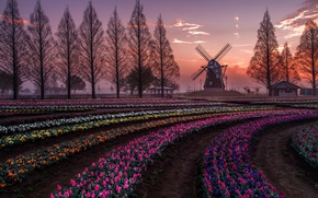 Wallpaper spring, field, the evening, Netherlands, trees, windmill, tulpani, Holland, flowers