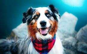 Picture dog, bokeh, Australian shepherd, Aussie, Happy Charlie