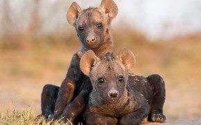 Picture nature, background, Hyena Cubs