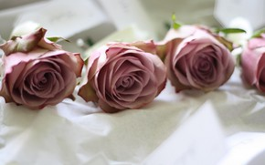 Picture macro, flowers, roses, buds