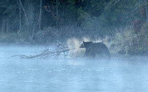 Wallpaper forest, fog, river, morning, bear, grizzly