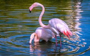Picture water, light, birds, nature, lake, pond, calm, two, ruffle, pair, Flamingo, pond, beautiful, blue background, …