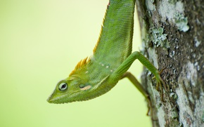 Picture green, tree, chameleon