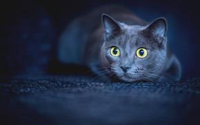 Picture cat, look, muzzle