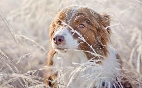Wallpaper winter, frost, grass, eyes, look, snow, nature, background, portrait, dog, red, Australian shepherd, Aussie