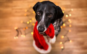 Picture look, face, background, new year, portrait, dog, flooring, floor, garland, view, photoshoot, bokeh, 2018, the ...